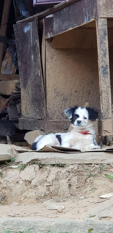 黑&白色狗 免版税库存照片
