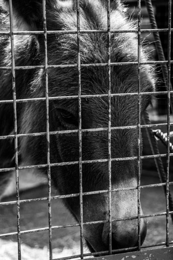 黑&白色驴 免版税库存图片