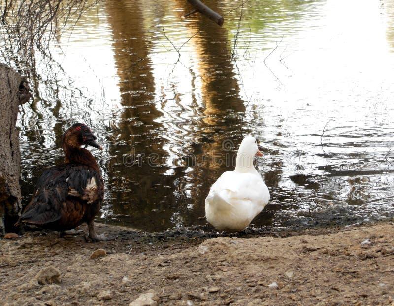 黑&白色鸭子 免版税库存图片