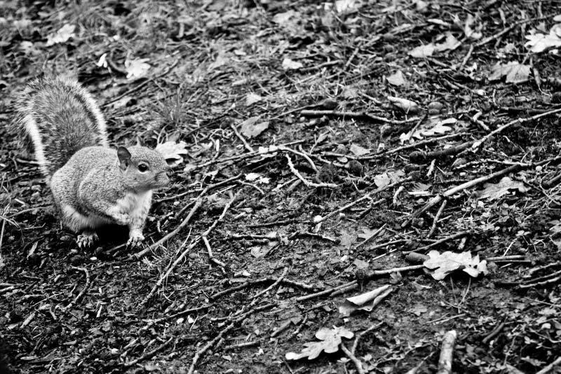 黑&白色,野生灰鼠 免版税库存照片