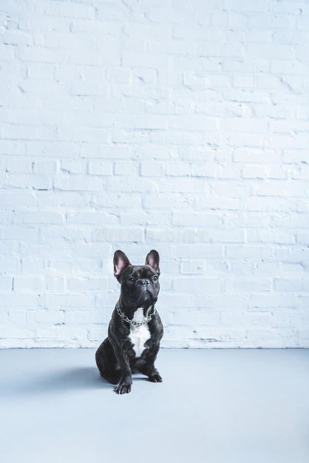 黑Frenchie狗坐地板 库存照片