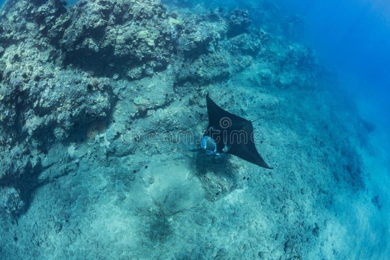 黑mantaray漂浮在珊瑚礁水下的射击 库存照片