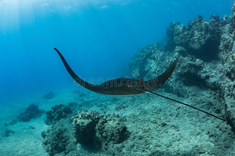 黑mantaray漂浮在珊瑚礁水下的射击 图库摄影