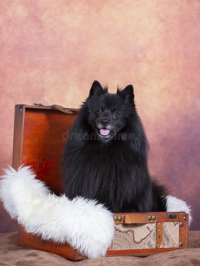 黑Mittelspitz狗画象在演播室 免版税库存图片