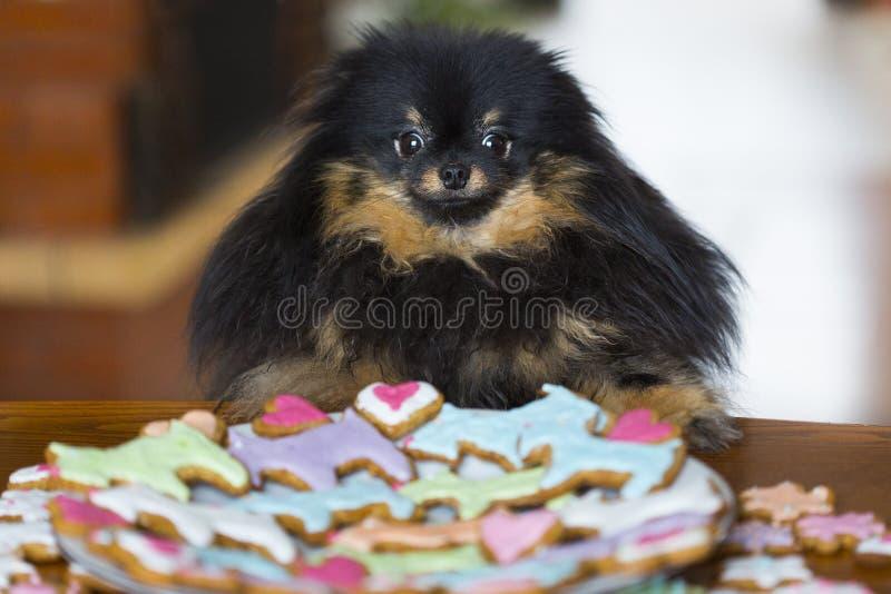 黑Pomeranian狗或小狗在五颜六色的曲奇饼附近板材在狗、心脏、花和星形状  免版税库存照片