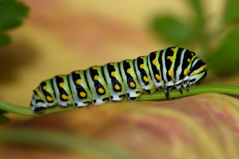 黑Swallowtail毛虫-蝴蝶幼虫,也称荷兰芹蠕虫 库存照片