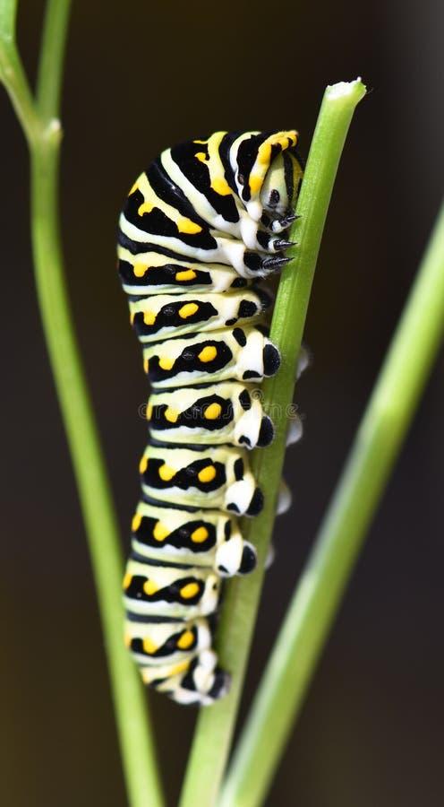 黑Swallowtail毛虫-蝴蝶幼虫 免版税库存照片