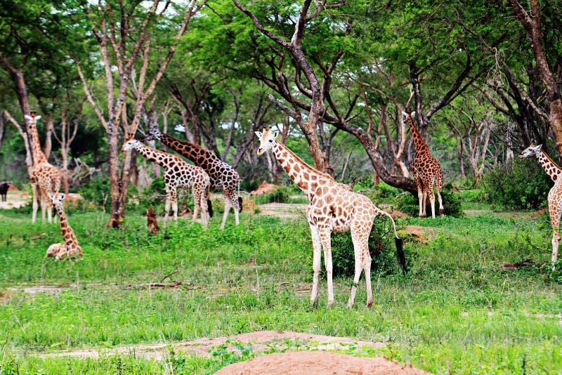 默奇森Falls国家公园,乌干达 图库摄影