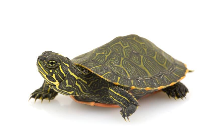 鼓起的北红色乌龟 图库摄影
