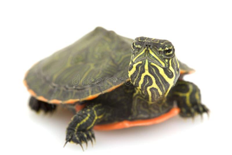 鼓起的北红色乌龟 库存图片