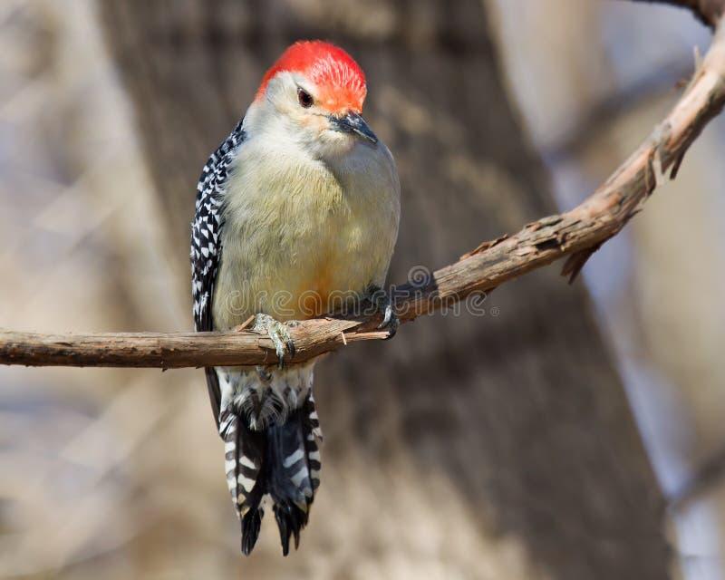鼓起的好奇红色啄木鸟 免版税库存图片