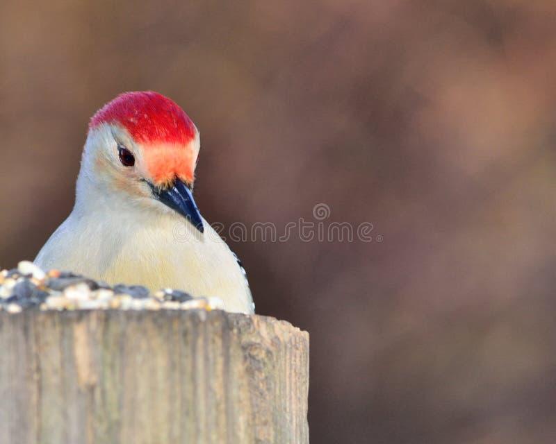 鼓起的特写镜头红色啄木鸟 免版税库存图片