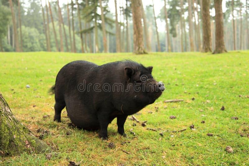 鼓起的猪罐 库存图片