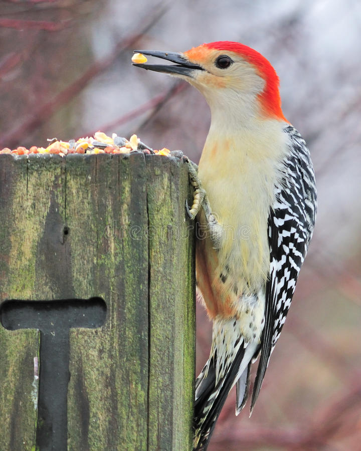 鼓起的红色啄木鸟 库存图片