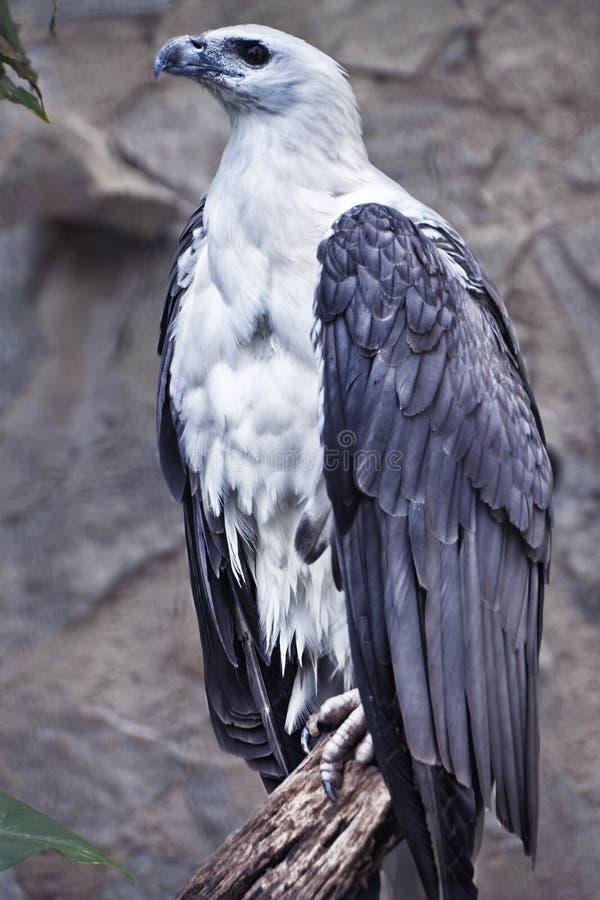 鼓起的老鹰栖息的海运树干白色 库存照片