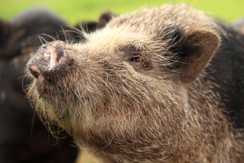 鼓起的表面猪罐口鼻部 库存照片