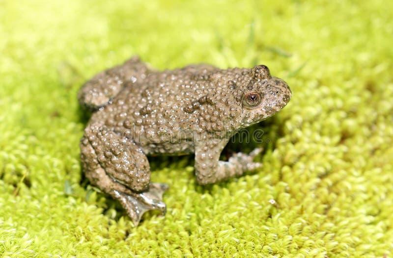 鼓起的青蛙绿色青苔蟾蜍黄色 免版税库存图片