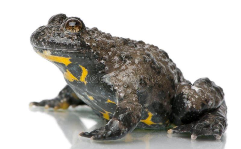 鼓起的bombina蟾蜍variegata黄色 免版税图库摄影