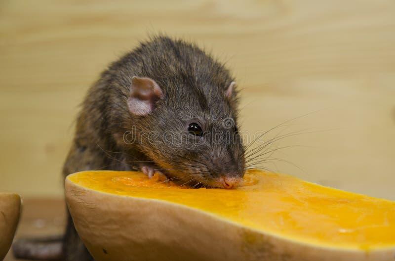 鼠吃一个南瓜 免版税图库摄影