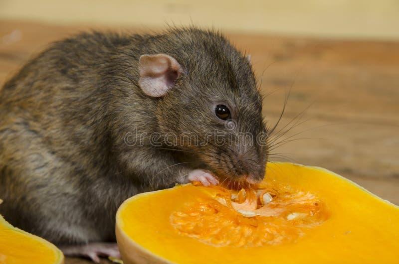 鼠吃一个南瓜 免版税库存图片