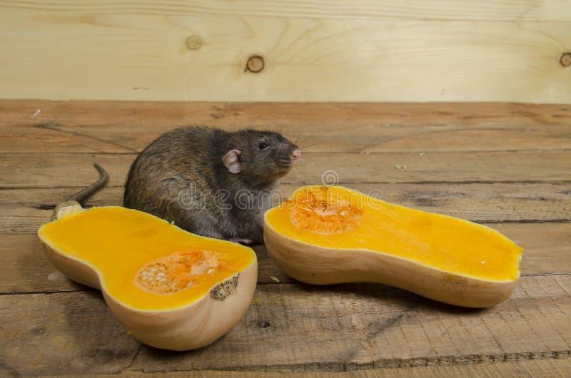 鼠吃一个南瓜 免版税库存照片