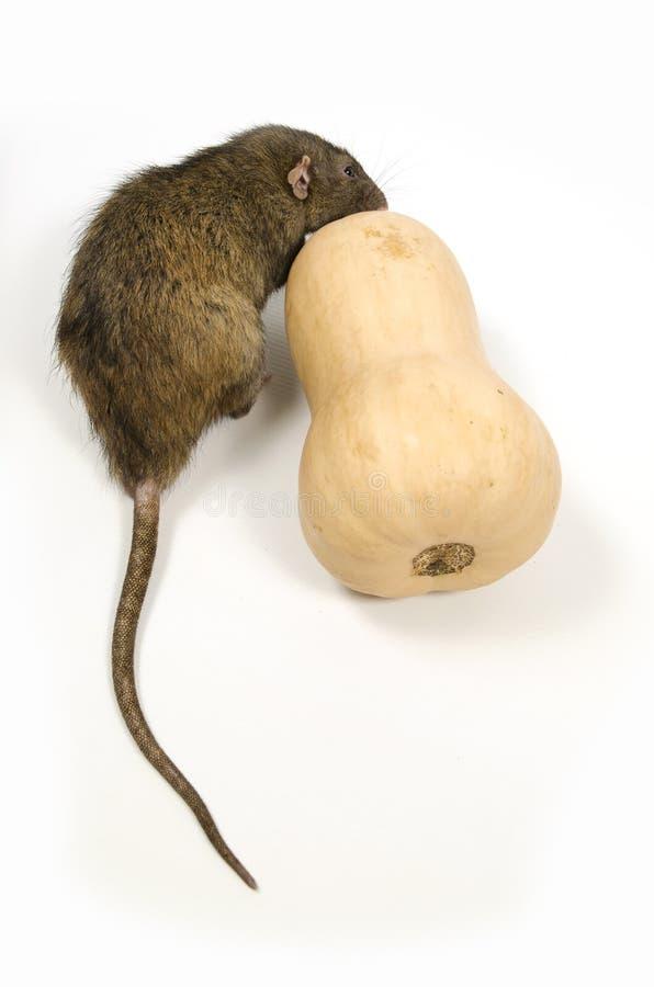 鼠咬南瓜 免版税库存照片