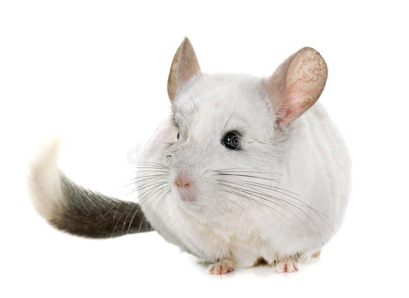 黄鼠在手上 免版税图库摄影