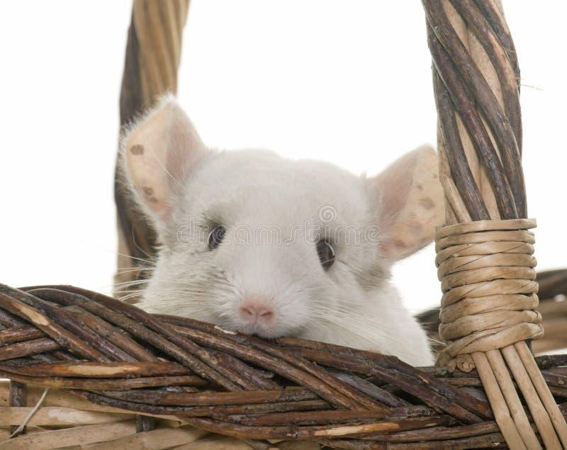 黄鼠在演播室 免版税库存照片