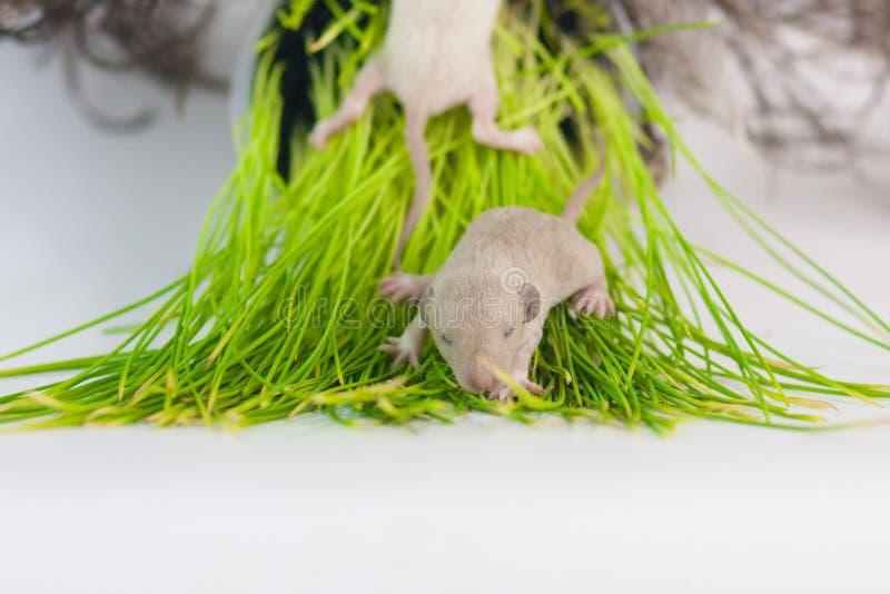 鼠在绿草说谎 一点新生儿啮齿目动物特写镜头 免版税库存照片