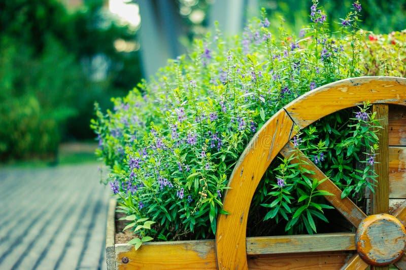 鼠尾草植物贤哲(Salvia sclarea)在庭院里开花 免版税库存图片