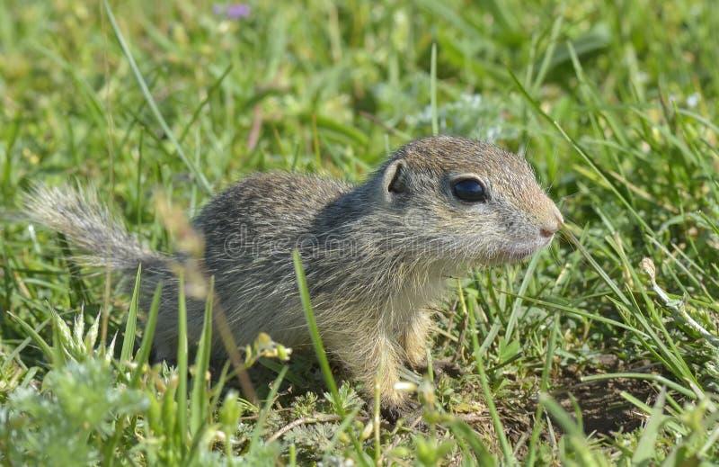 黄鼠属欧洲地面地面松鼠类灰鼠 免版税库存图片