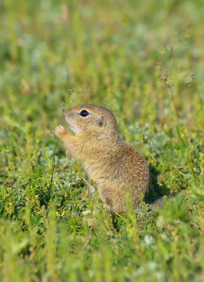 黄鼠属欧洲地面地面松鼠类灰鼠 图库摄影