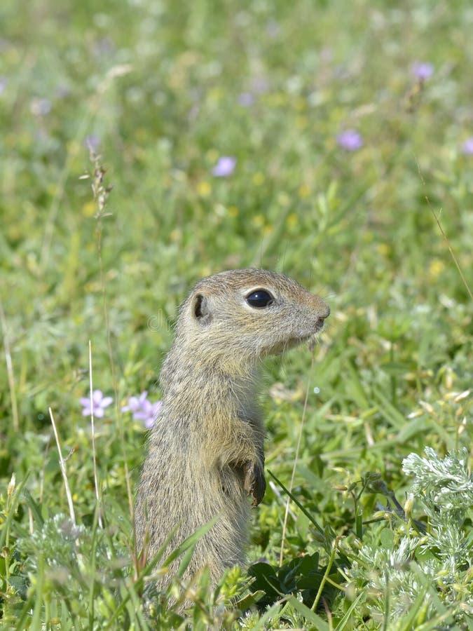 黄鼠属欧洲地面地面松鼠类灰鼠 库存图片