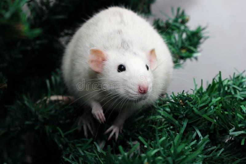 鼠是新年的标志2020年 库存照片