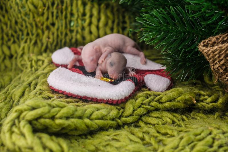 鼠是新年的标志 新生儿老鼠睡眠 库存照片