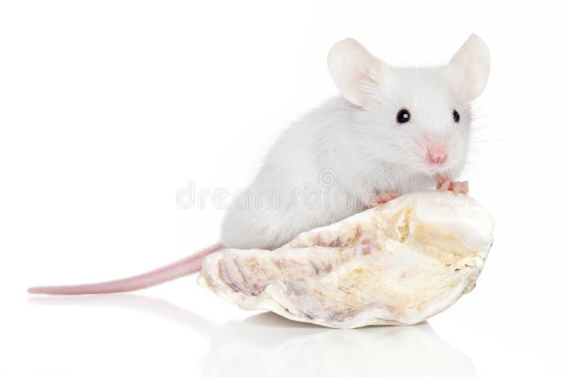 鼠标海运壳白色 免版税图库摄影