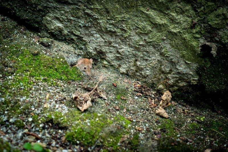 鼠标通配木头 库存照片