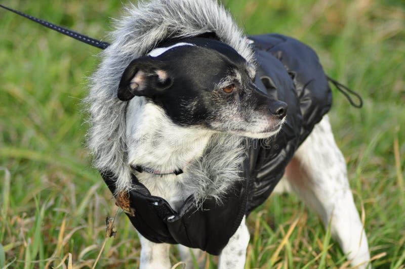 鼠狗意大利灵狮混合品种狗佩带的外套 库存照片