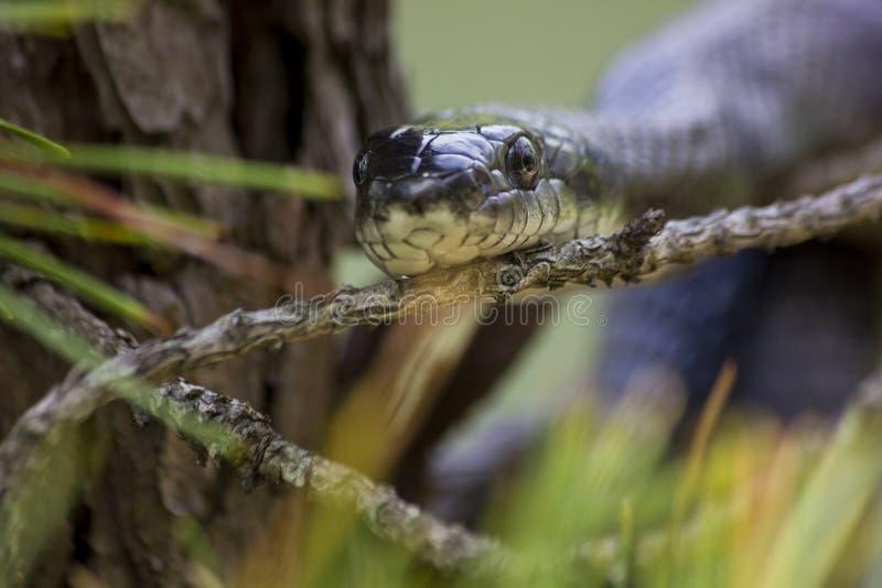黑鼠蛇 库存图片