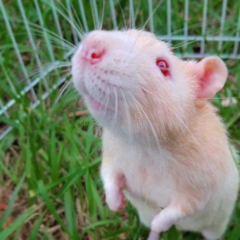 鼠面孔 免版税库存图片