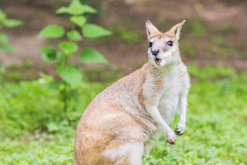 鼠,类似于的澳洲有袋动物,但是小于,袋鼠 库存图片