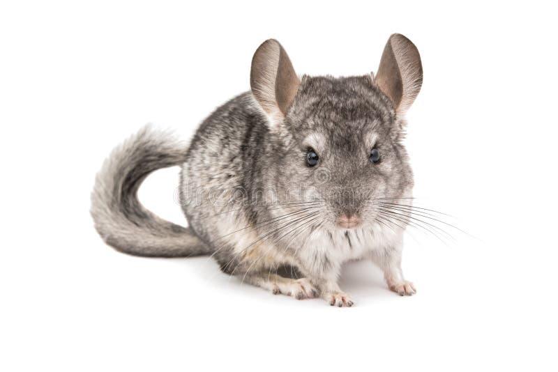 黄鼠 免版税图库摄影