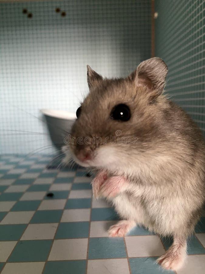 仓鼠 图库摄影