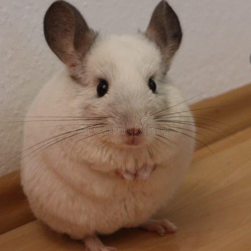 黄鼠 库存照片