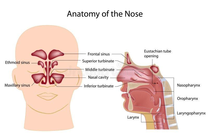 鼻子解剖学 皇族释放例证