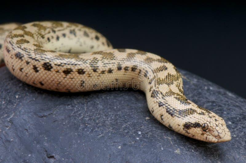 齿垢沙子蟒蛇/Eryx tatricus 库存照片