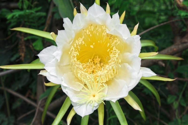 龙在开花的果子花(量天尺仙人掌科) 免版税库存照片