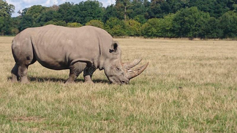 龙尼犀牛 库存图片