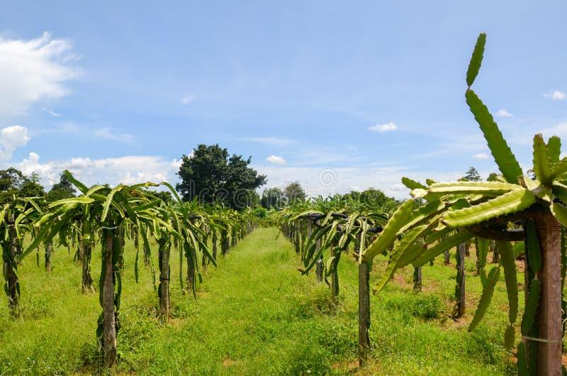 龙果子种植园, Phat的池氏,柬埔寨 图库摄影