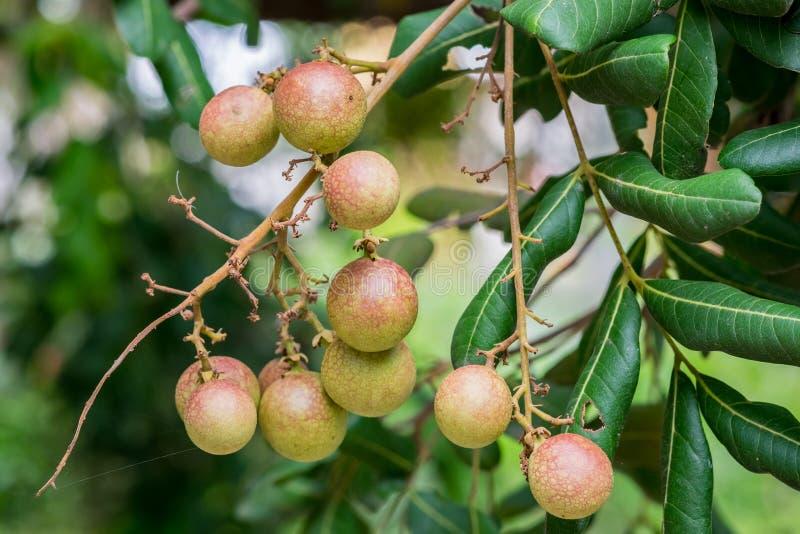 四p种子图片_龙眼果子许多种子. 庭院, 问题的.